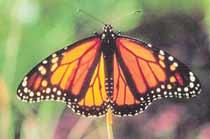Бабочка-монарх — символ движения противников генетически модифицированных растений