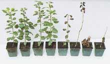 Результаты обработки саженцев груши различными концентрациями гербицида: четыре слева — растения с геном устойчивости к гербицидам, справа — обычные растения, не выдержавшие обработки