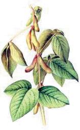 Соя — древнейшее культурное растение семейства бобовых