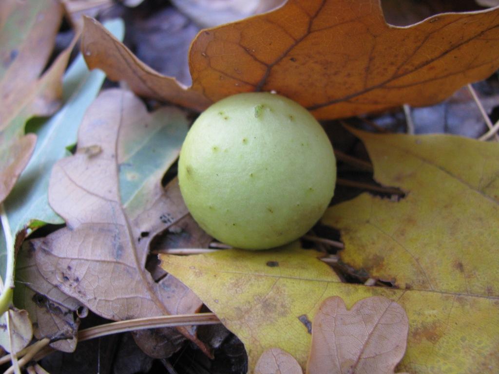 Чернильные орешки. Galls (Gallnuts)