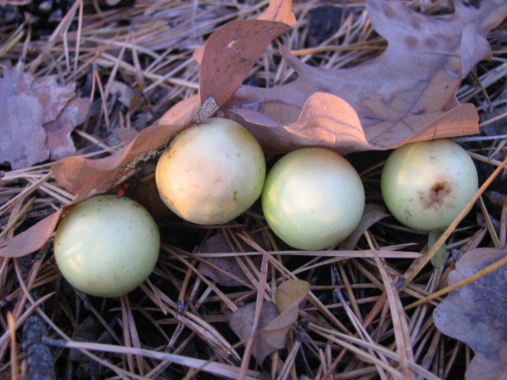Чернильные орешки, или дубовые галлы (Gallnuts, Oak Galls)