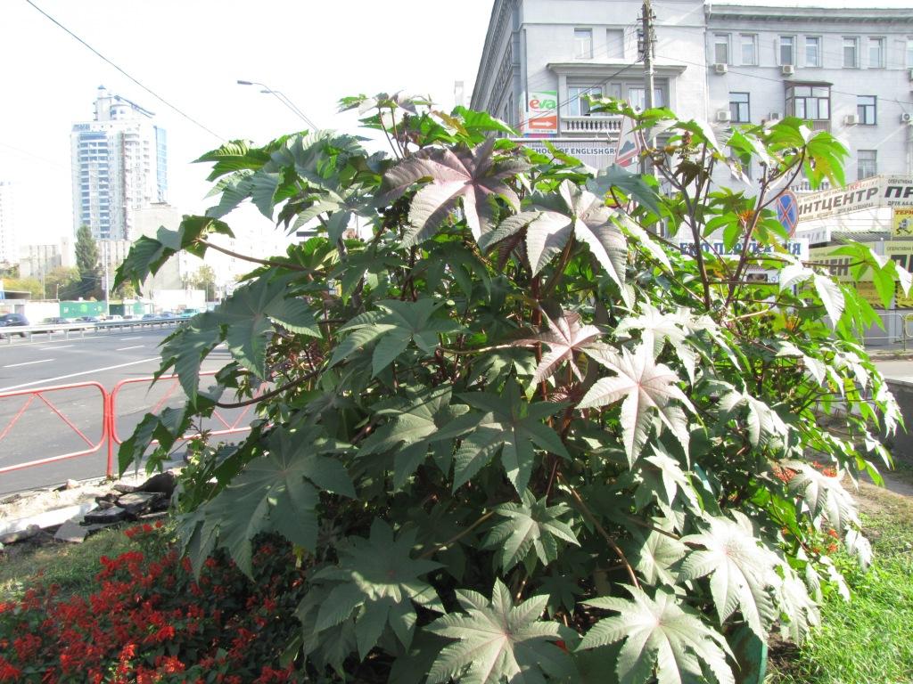 Клещевина (Ricinus communis) в Киеве. Ricinus communis in Kyiv, Ukraine