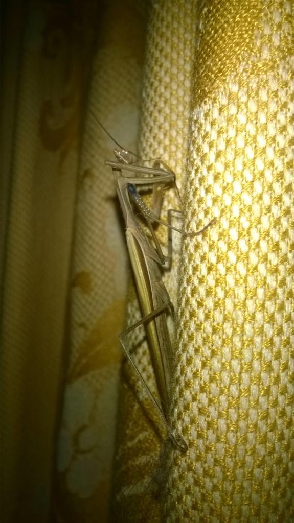 Богомол обыкновенный в киевской квартире. European mantis in Kyiv flat