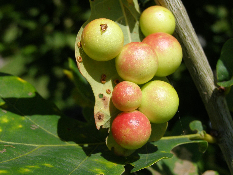 Чернильные орешки на листьях дуба. Oak apples
