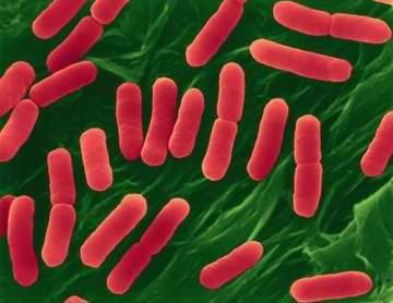 Кишечная палочка - Escherichia coli