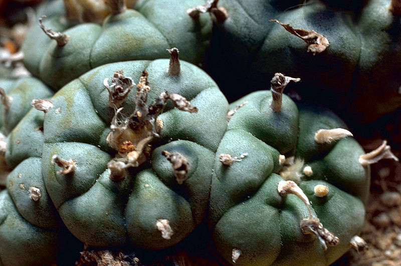 Лофофора Уильямса (Lophophora williamsii), она же - кактус ''пейотль''