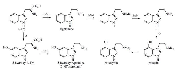 Схема биосинтеза псилоцибина