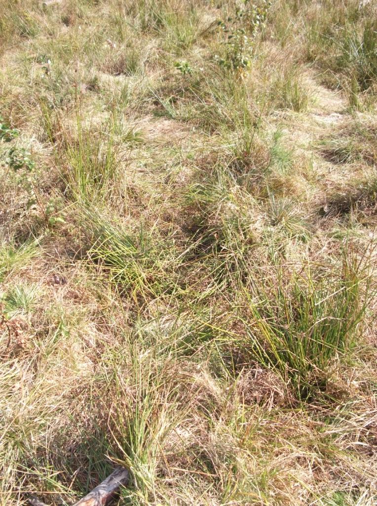 Среди таких пучков травы и растет псилоцибе полуланцетовидная