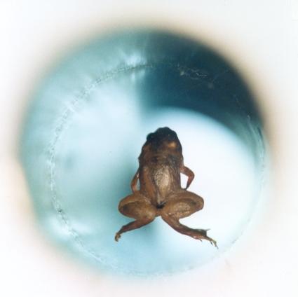 Левитирующая  лягушка (магнитное поле)