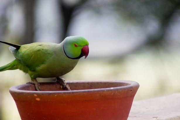Попугаи-наркоманы съели десятую часть урожая опийного мака в Индии. Parrots flying high on drugs are annoying farmers by plundering poppy fields to feed their opium addiction