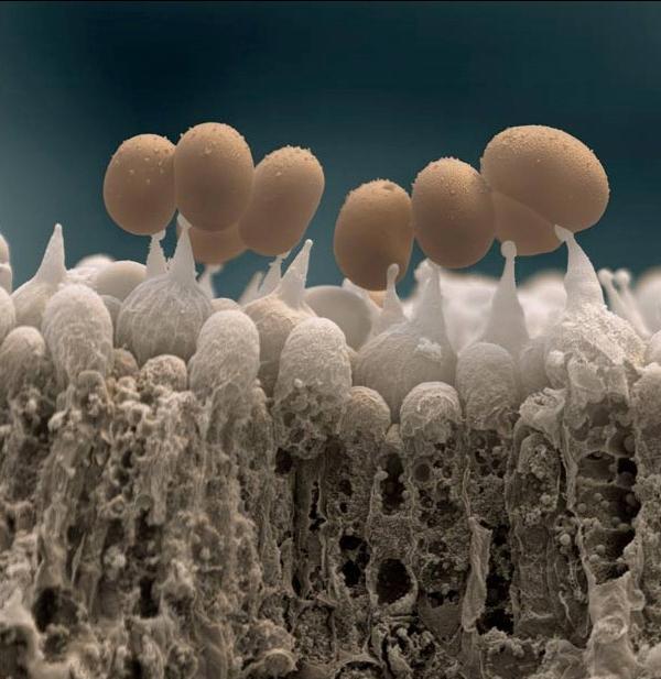 Споры гриба