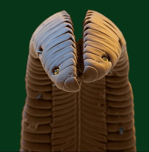 Кончик языка колибри