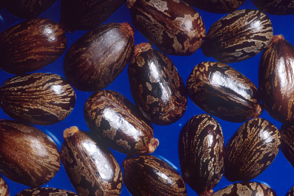 Семена  клещевины. Служат источником касторового масла,  одновременно содержат  рицин - сильный яд белковой природы