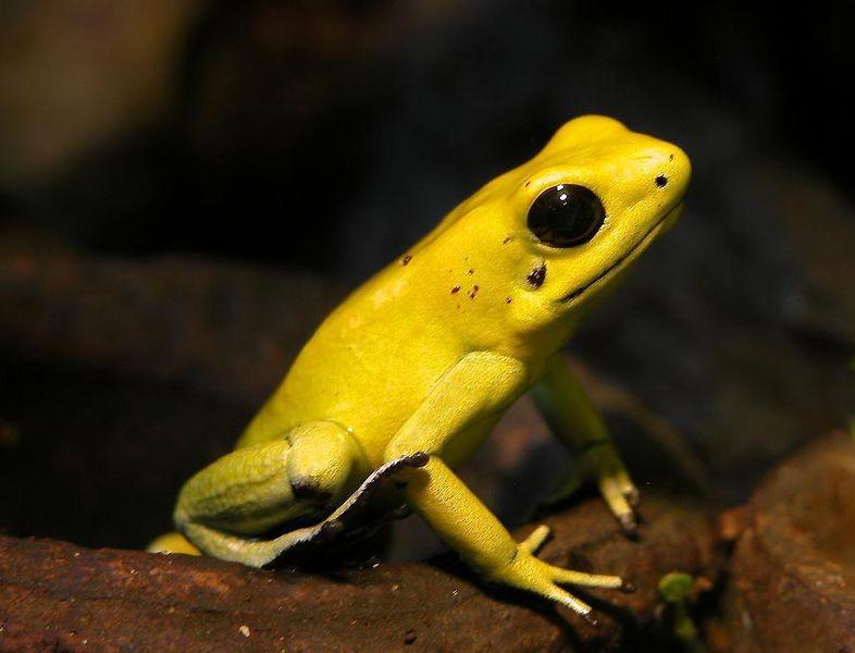 Листолаз ужасный  (Phyllobates terribilis). Эта милая на вид лягушка может содержать до 500 мкг батрахотоксина - сильнейшего яда из группы стероидных алкалоидов.