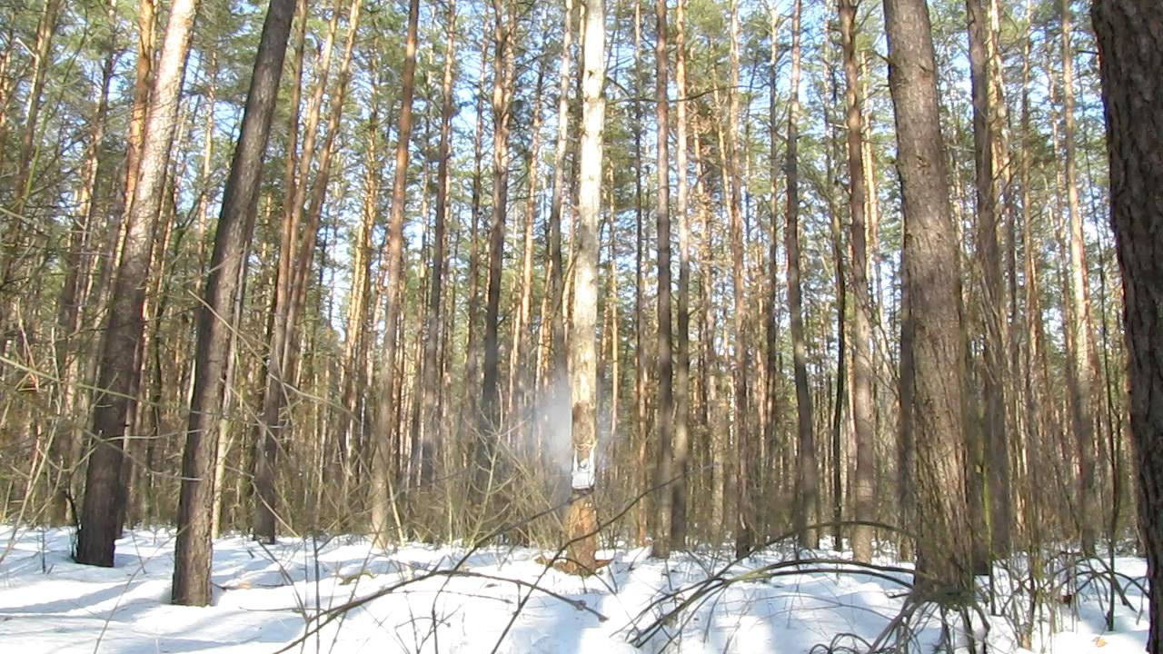 Взрыв аммотропина (5000 г, дерево d=50 см)