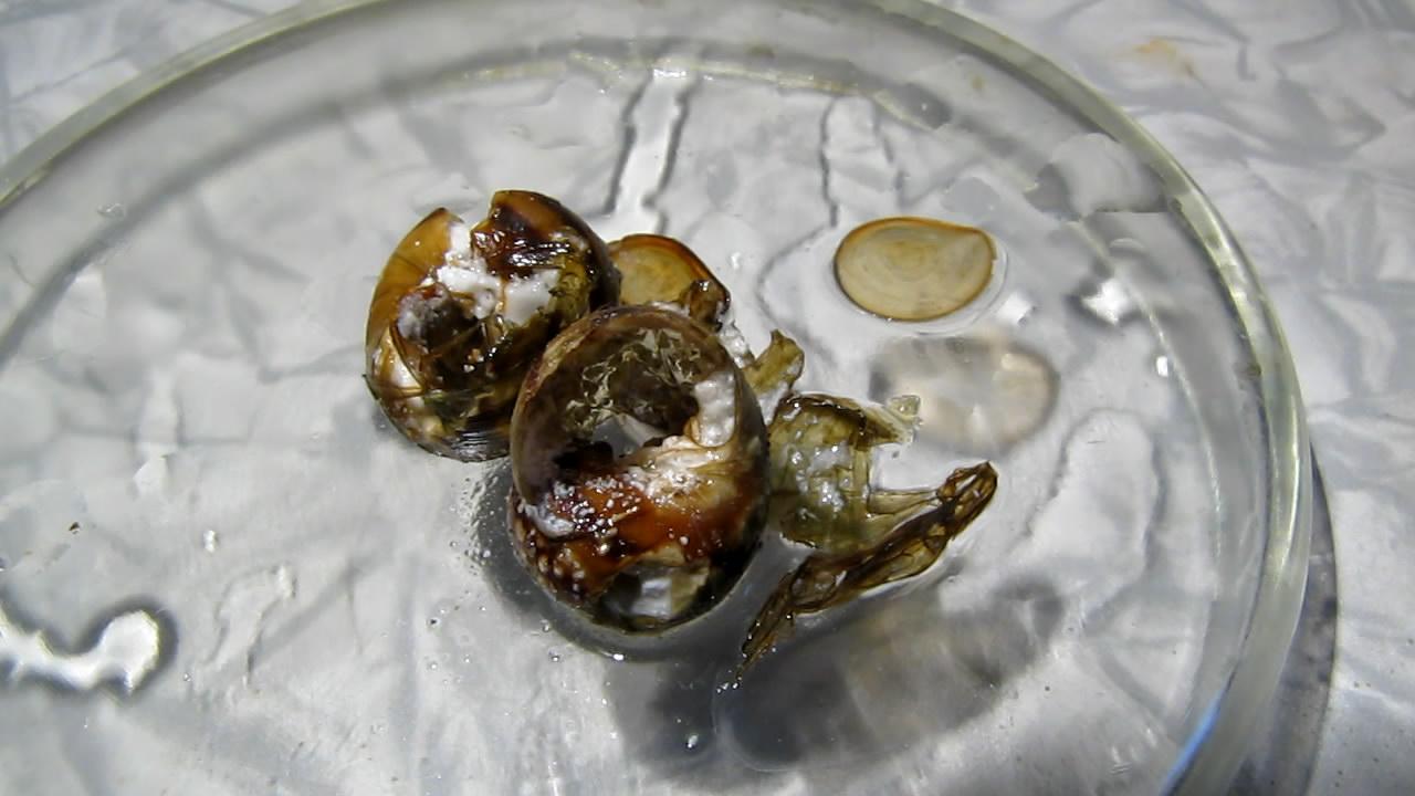 Раковины моллюсков и лимонная кислота. Mollusk shells and citric acid