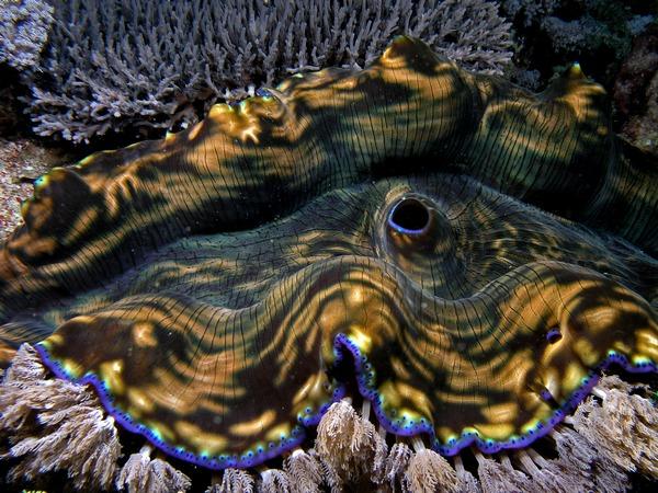 Тридакна гигантская (Tridacna gigas)
