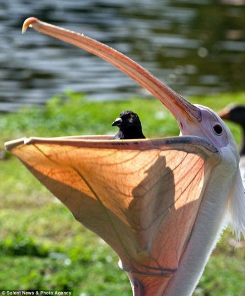 Пеликан проглотил живого голубя