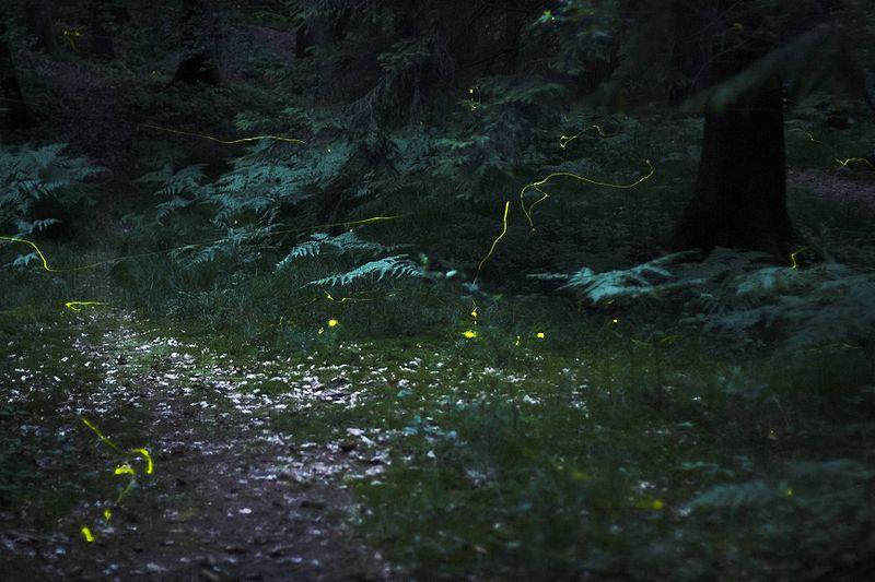 Светлячки в лесу (экспозиция 30 секунд, поэтому они видны в виде линий)