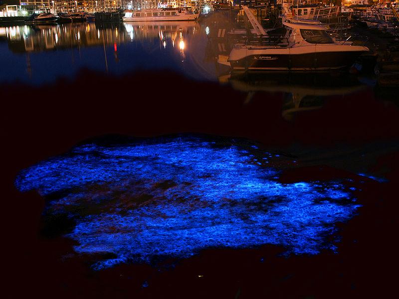 Ночесветка (Noctiluca scintillans varias) - одноклеточный организм, который вызывает свечение моря