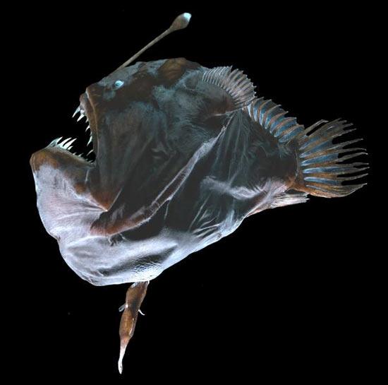 Морской черт (глубоководная рыба)
