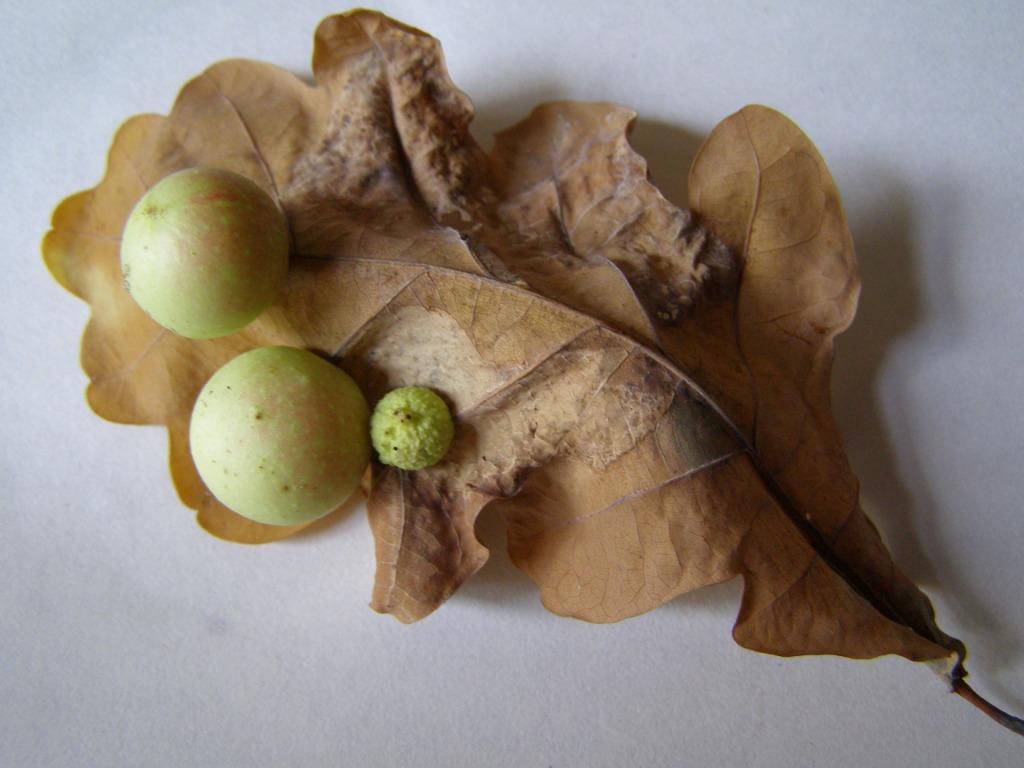 Дубовые орешки (чернильные орешки)