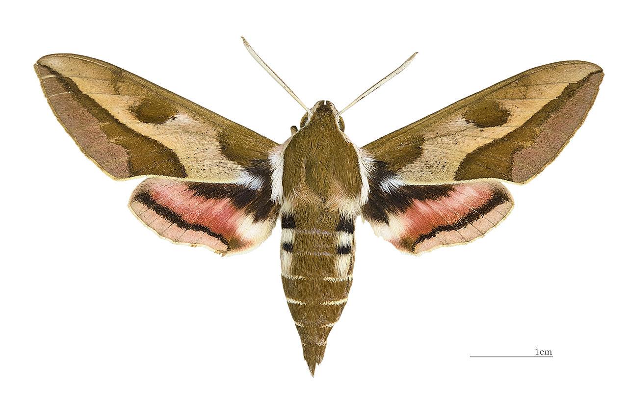 Молочайный бражник (самец)