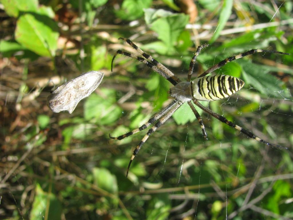 Аргиопа Брюнниха, или паук-оса (лат. Argiope bruennichi)