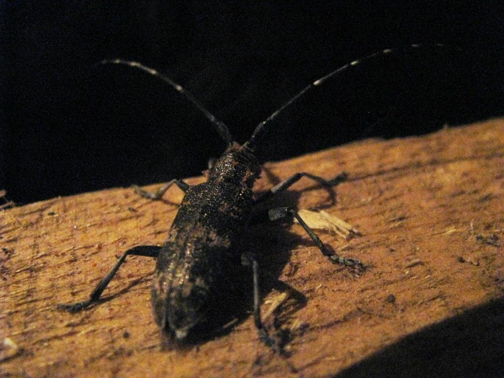Acanthocinus aedilis - Усач серый длинноусый (Дровосек серый длинноусый)