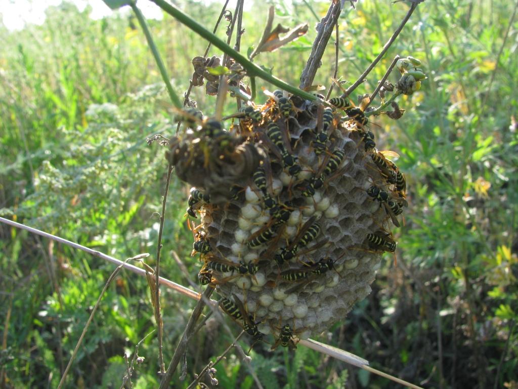 Осиное гнездо