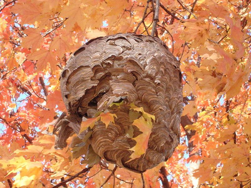 Колония бумажной осы на клене