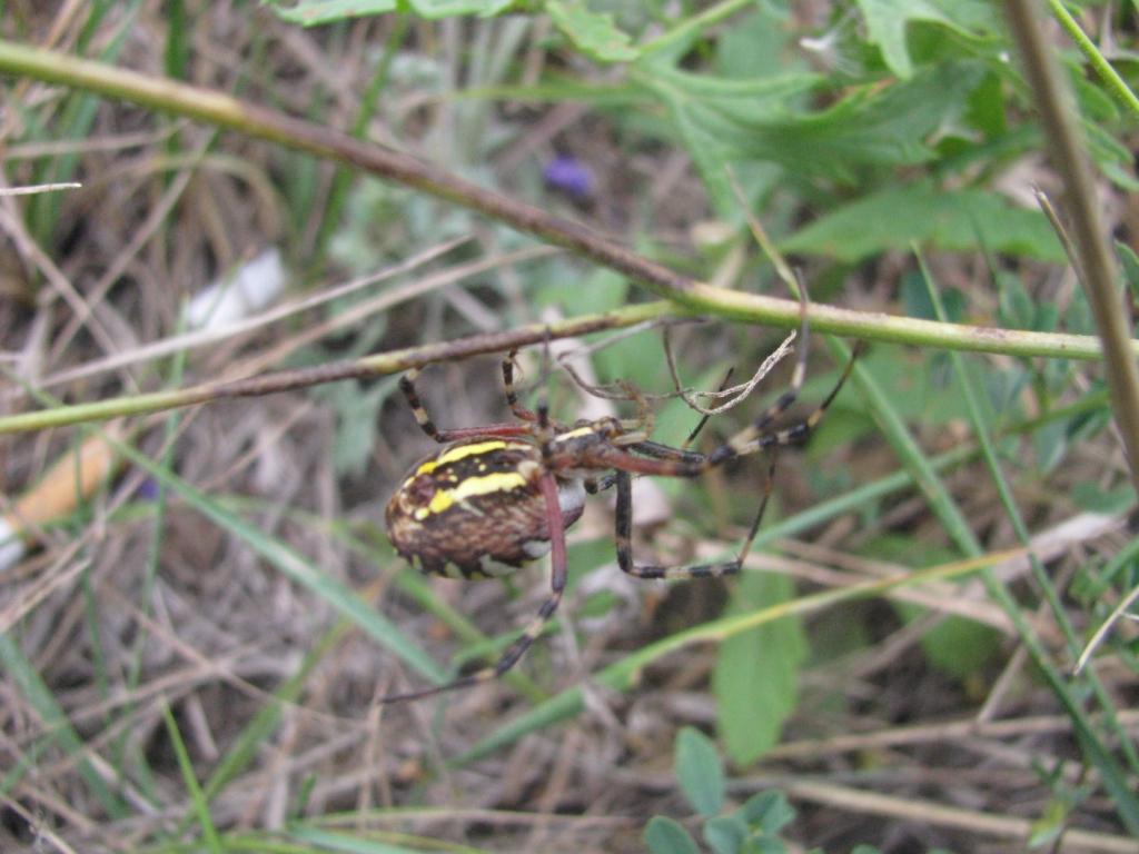 Аргиопа Брюнниха (лат. Argiope bruennichi, он же - паук-оса)