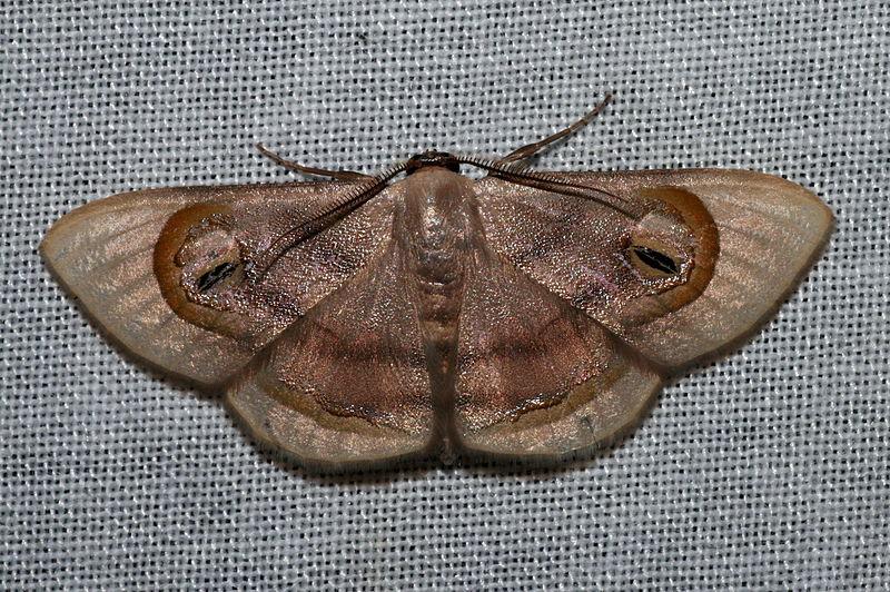 Geometridae Sterrhinae