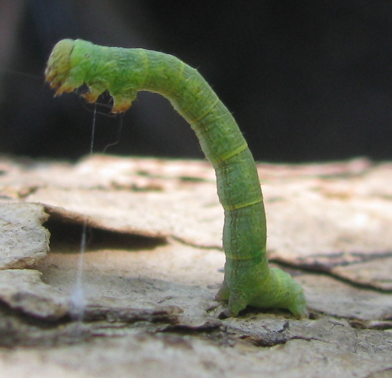 Geometridae - Землемер, или Пяденица