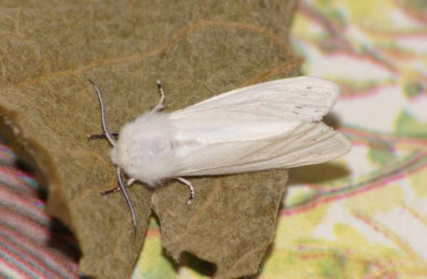 Hyphantria cunea, или Американская белая бабочка