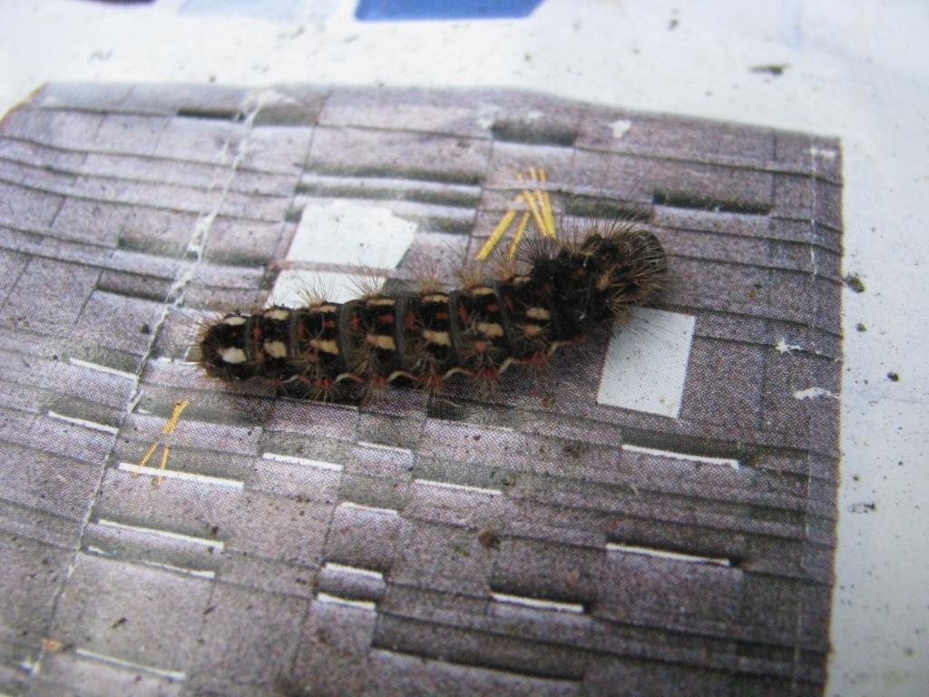 Стрельчатка щавелевая (Acronicta rumicis)