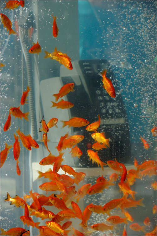 Золотые рыбки в телефонных будках (Япония). Goldfish phone boot aquariums (phone booths turned into aquariums with goldfish)