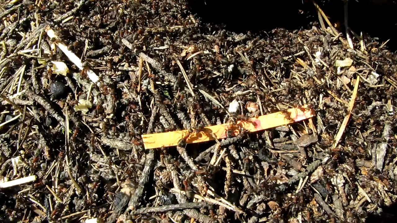 Муравьи и муравьиная кислота. Ants and formic acid