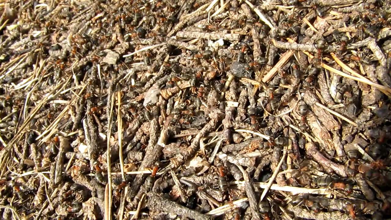 Муравьи и муравейник. Ants and formicary