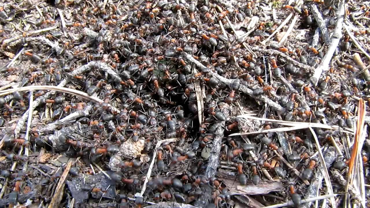 Большой муравейник. Big ant hill
