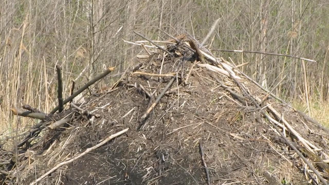 Съел бобра - спас дерево. Eat a beaver - save a tree