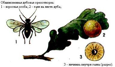 Дубовые орешки (галлы) и Обыкновенная дубовая орехотворка - одно из насекомых, которое вызывает их образование