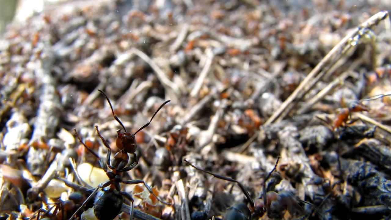 Муравьи и муравейники (лето). Ants and anthills (in summer)