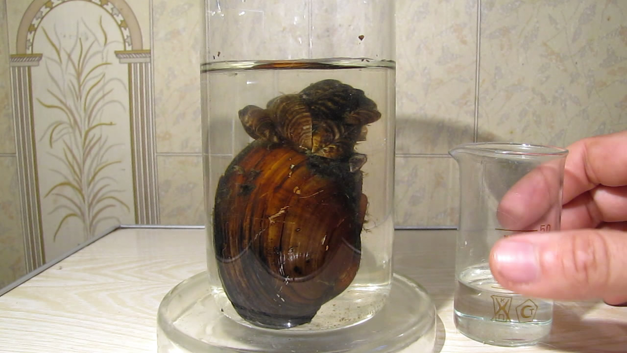 Двустворчатый речной моллюск и азотная кислота. Bivalve shell (freshwater mollusk) and nitric acid