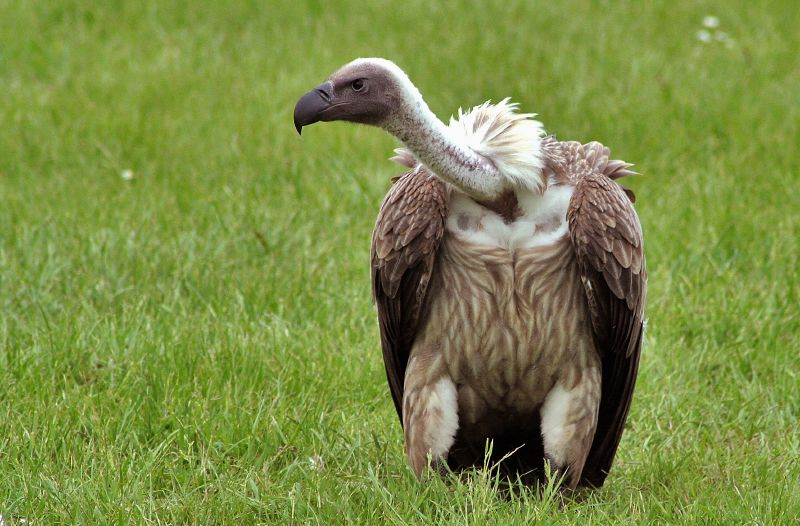 Африканский гриф (англ. - White-backed Vulture, лат. - Gyps africanus)