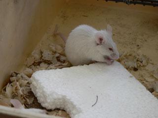 Мыши грызут пенопласт, впрочем, как и многие другие строительные материалы