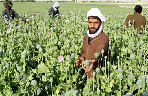 Плантации опиумного мака в Афганистане