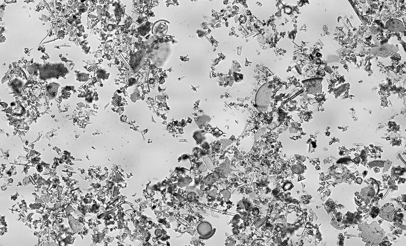 Кизельгур под микроскопом. Видно останки диатомовых водорослей