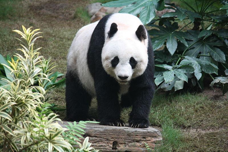 Большая панда (бамбуковый медведь)