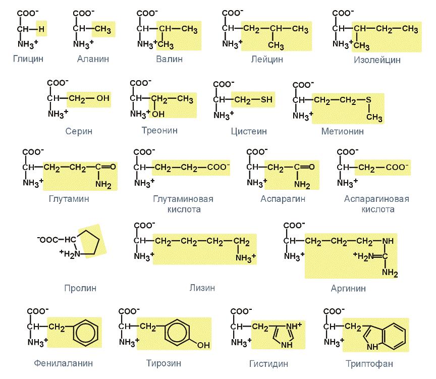 Аминокислоты, которые входят в состав белков